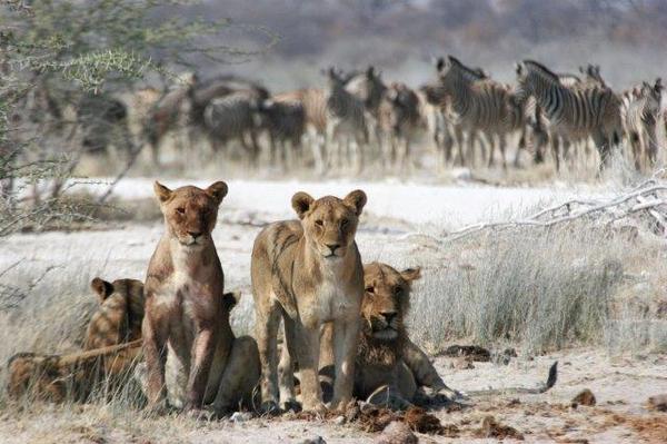 Lionnes et troupeaux de zèbres au Botswana.