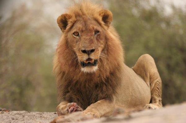 Lion au Botswana.