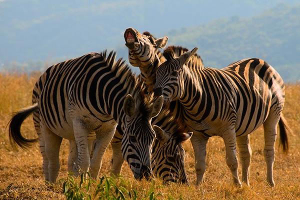 southafrica_hluhluwe-imfolozipark_zebras.jpg