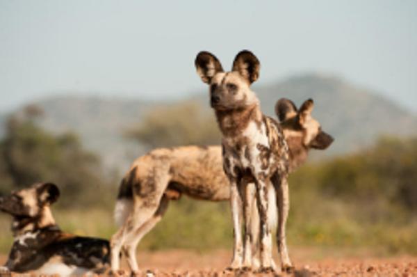 Lycaons dans la réserve de Moremi au Botswana.