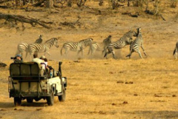 Observation des zèbres pendant un safari au Botswana.