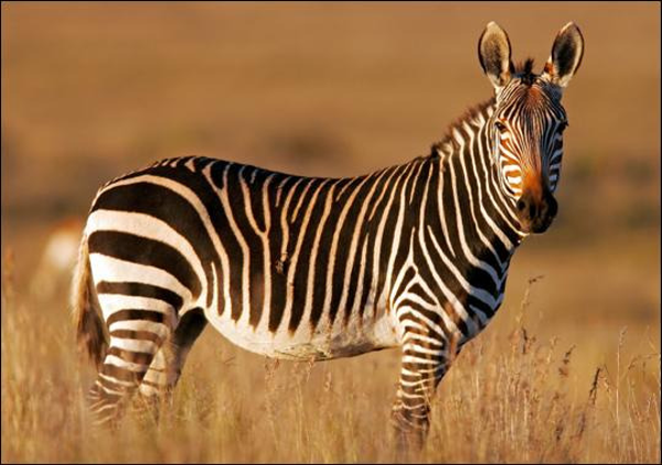 Zebra in the Cape's mountain in South Africa