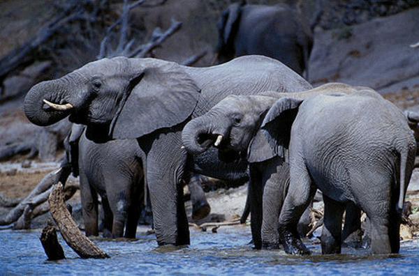 Troupeau au Chobe