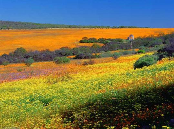 Flowers season  in Namaqualand in South Africa