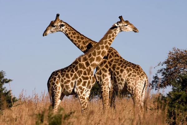 girafes920b25a5c05565077597f3a9aa85feb5.jpg