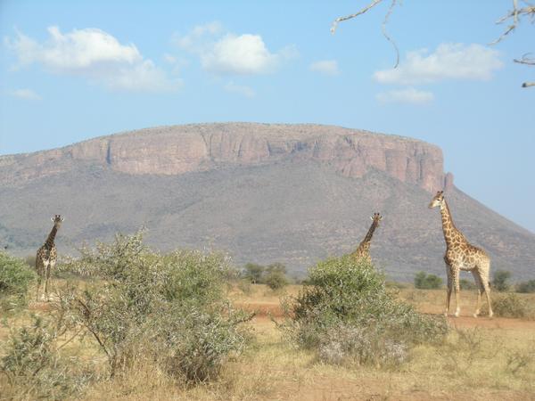 Giraffe in Welgevonden in South Africa