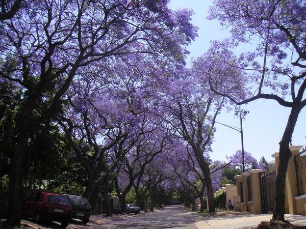 Jacaranda Plant in South Africa