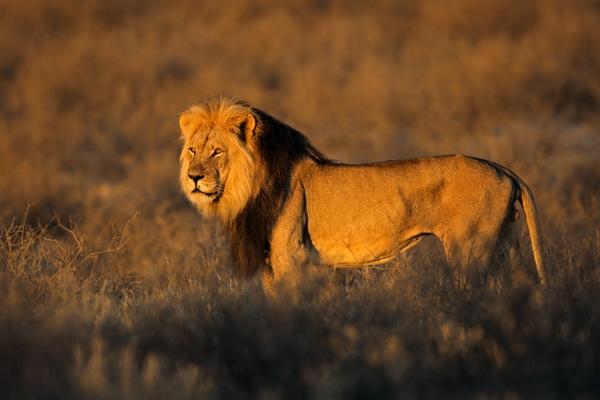 Lion in the Kalahari Desert
