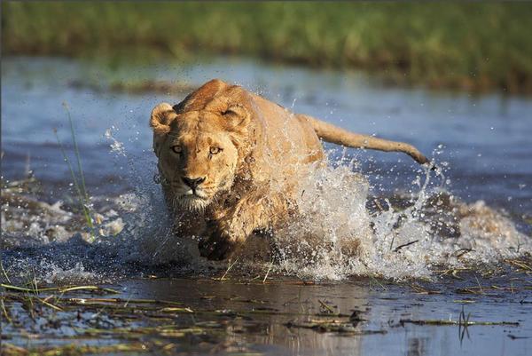Lionne du Delta