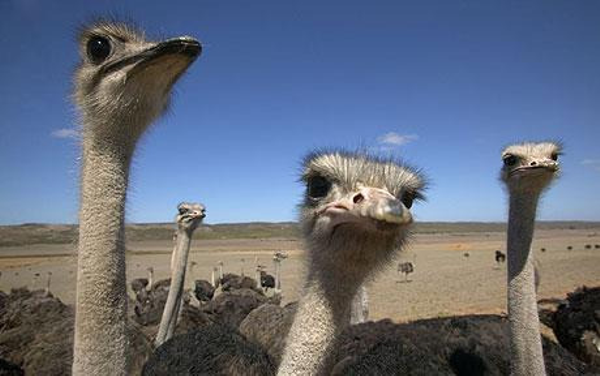 Karoo's ostriches in South Africa