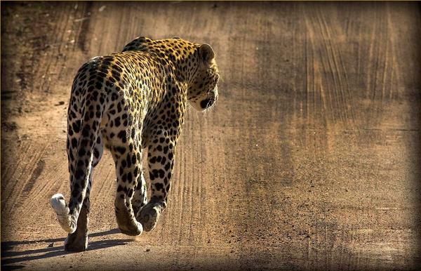 pilanesberg-leopard.jpg