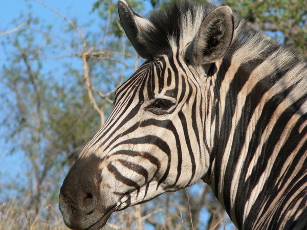 Zebra in the Kwazulu Natal Region