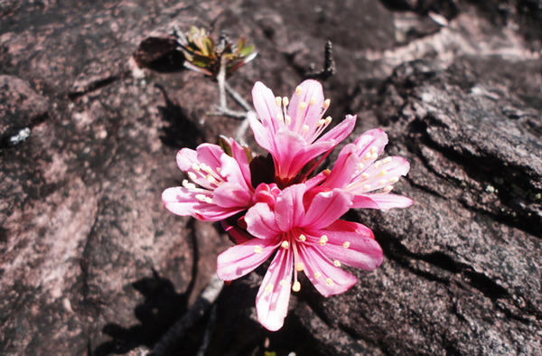Flower at Mount Roraima
