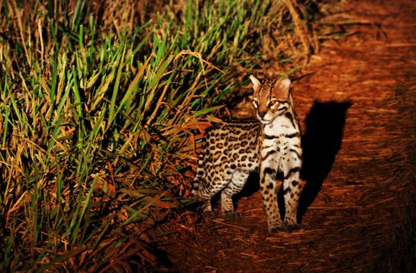 A Feline in Pantanal