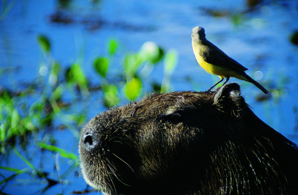 A%20Bird%20Resting%20on%20a%20Capybara%20in%20Pantanal