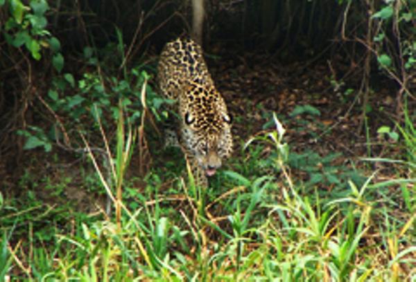 Northern Pantanal Jaguar
