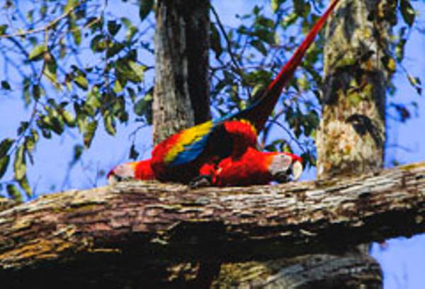 Uacari Lodge, a Scarlet Macaw