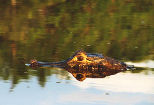 Southern Pantanal Caiman