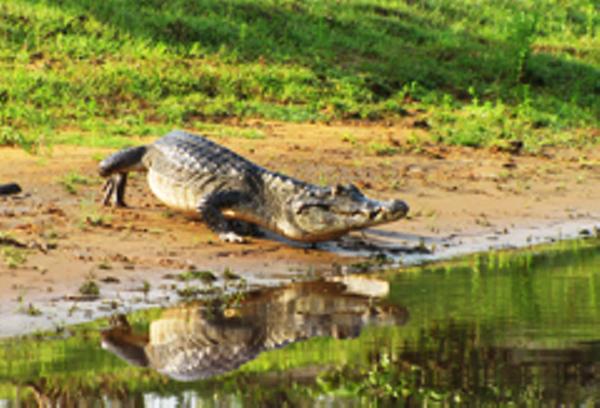 Crocodile, Pantanal