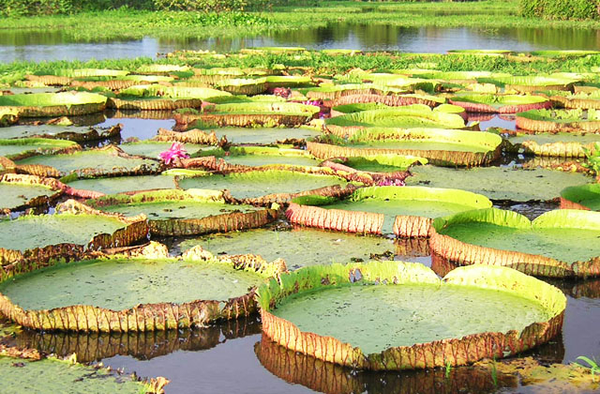 Amazon Rainforest Water Lilies