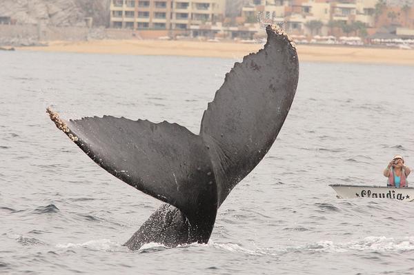 baleine basse californie