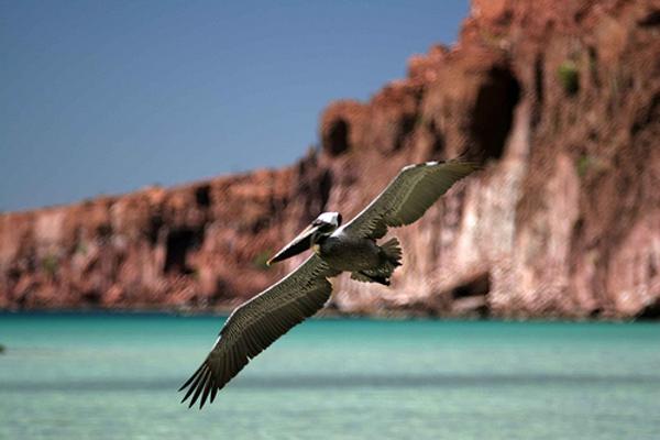 basse-californie-espiritu-santo-pelican-1.jpg