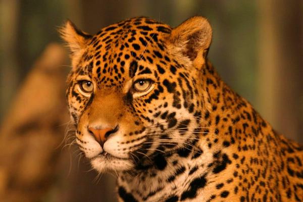 jaguar-65410.jpg