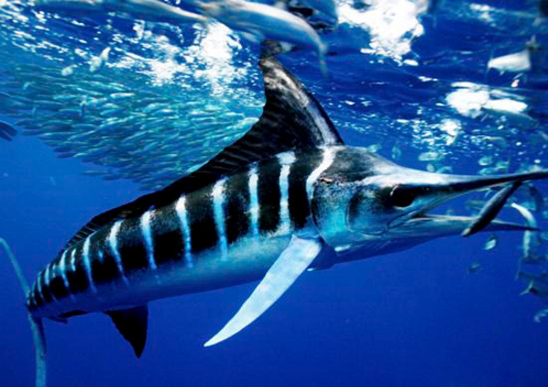 striped_marlin.jpg