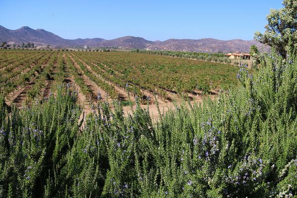 vin-basse-californie-7.jpg