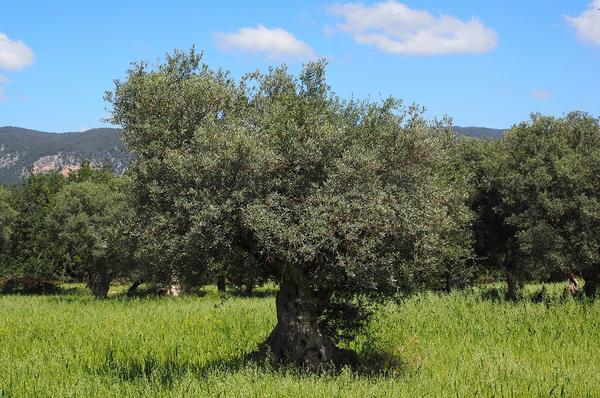 oliveraie-2.jpg