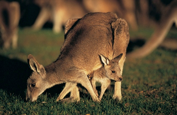 Kangourous dans les Otways