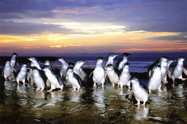 Pingouins à Phillip Island