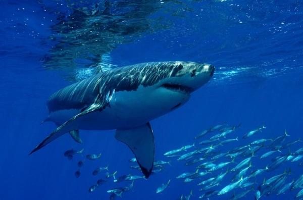 Requin%20blanc
