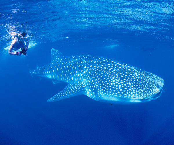 ningaloo-reef20whale-shark.jpg