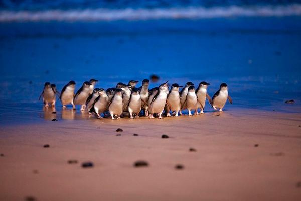 penguin-parade-p.jpg