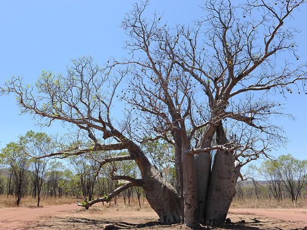 australie_kimberley_el_questro_homestead_activity_nature_tour_boab_tree.jpg