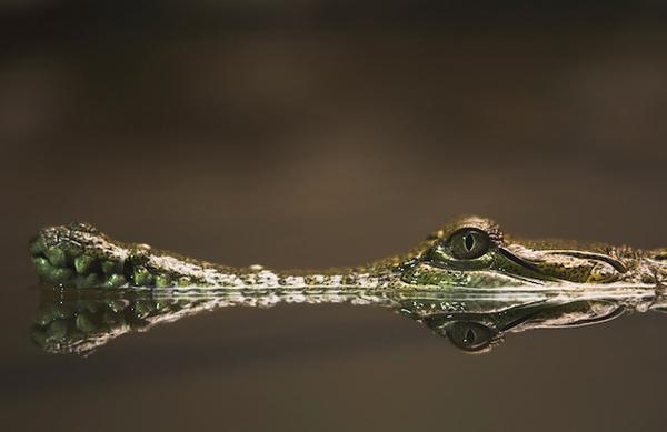 crocodile-2.jpg
