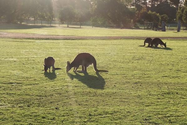 kangaroo20island20-20kangourou.jpg