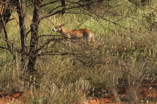 kings20canyon20420-20dingo.jpg