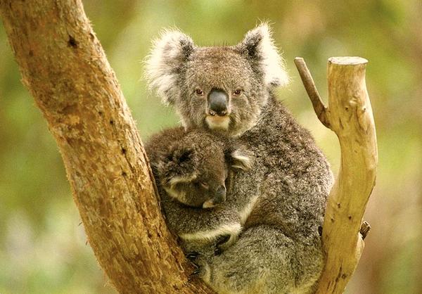 koala-australie-2.jpg