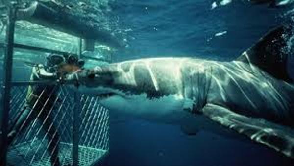 requin20blanc.jpg